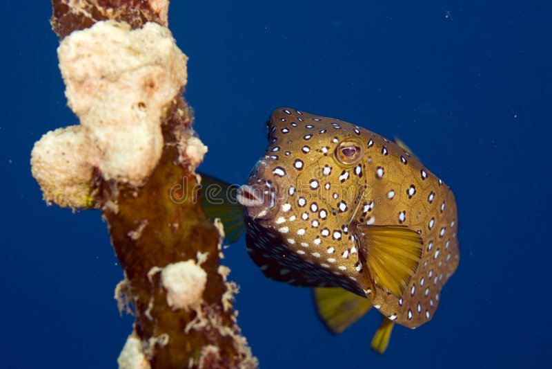 Bluetail Trunkfish fem. (oastracion cyanurus) lizenzfreies stockbild