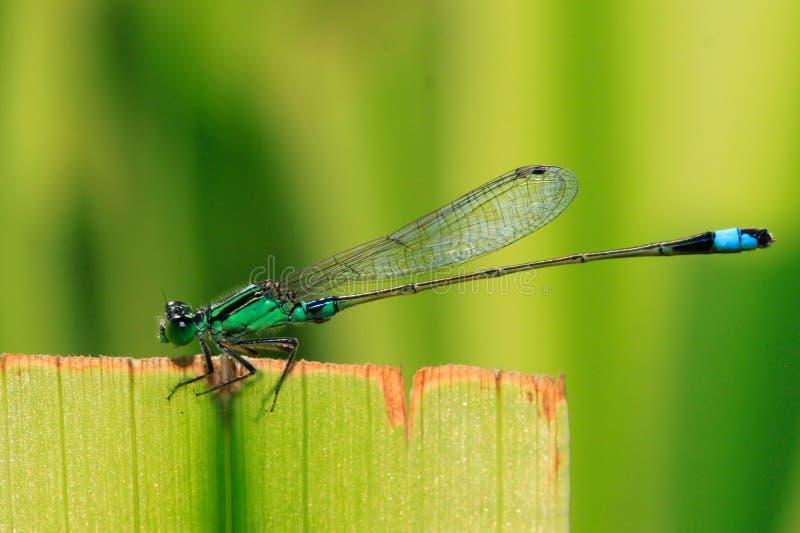 bluetaildamselfly royaltyfri fotografi
