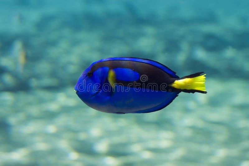 Bluetang photographie stock libre de droits