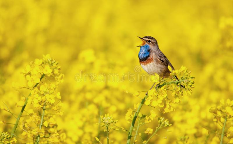 Bluethroat chirping in a field royalty free stock photo