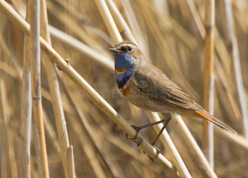 Bluethroat on dry reed