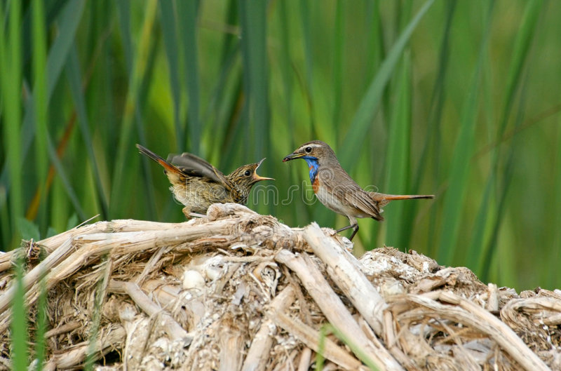 The bluethroat feeding the nestling royalty free stock images