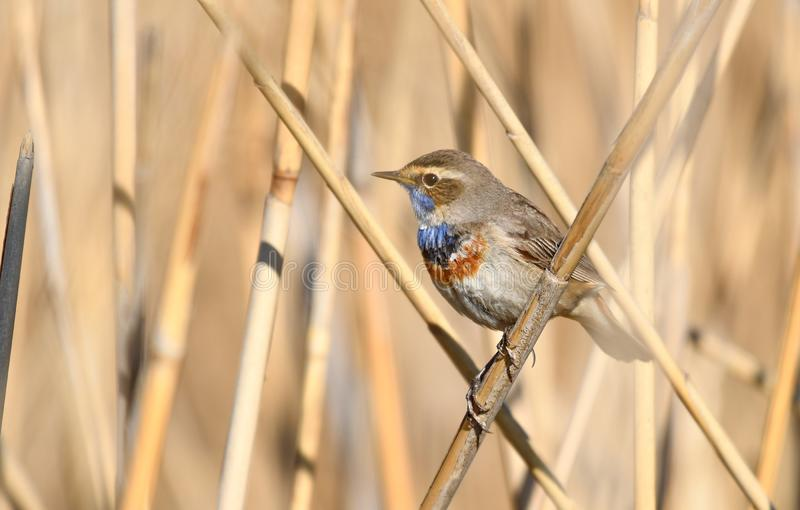 Bluethroat Luscinia svecica. The Bluethroat Luscinia svecica is a small passerine bird that was formerly classed as a member of the thrush family Turdidae, but royalty free stock images