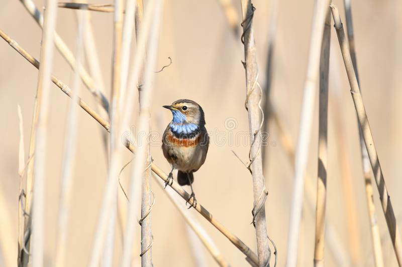 Bluethroat Luscinia svecica. The Bluethroat Luscinia svecica is a small passerine bird that was formerly classed as a member of the thrush family Turdidae, but royalty free stock photography