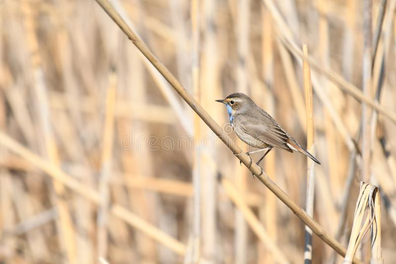 Bluethroat Luscinia svecica. The Bluethroat Luscinia svecica is a small passerine bird that was formerly classed as a member of the thrush family Turdidae, but stock images