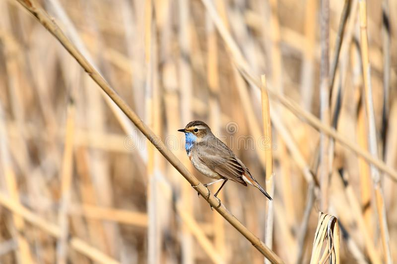 Bluethroat Luscinia svecica. The Bluethroat Luscinia svecica is a small passerine bird that was formerly classed as a member of the thrush family Turdidae, but royalty free stock image