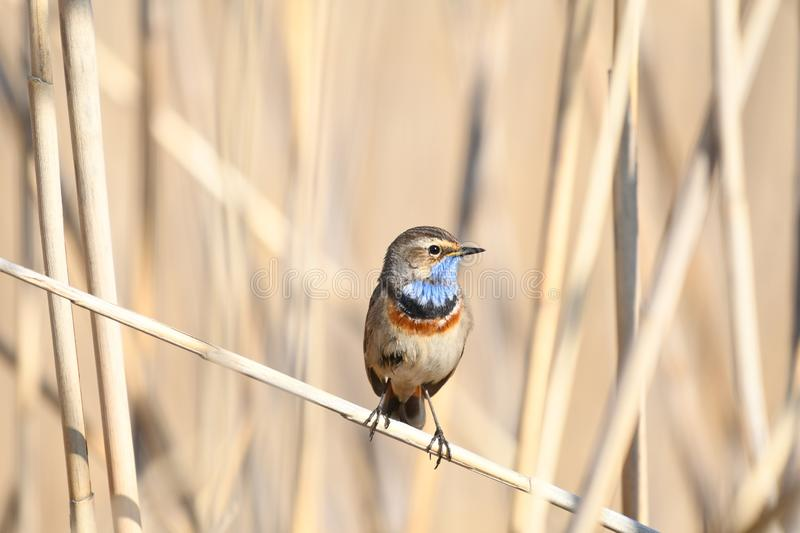 Bluethroat Luscinia svecica. The Bluethroat Luscinia svecica is a small passerine bird that was formerly classed as a member of the thrush family Turdidae, but stock photography