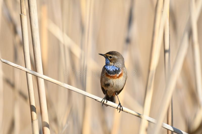 Bluethroat Luscinia svecica. The Bluethroat Luscinia svecica is a small passerine bird that was formerly classed as a member of the thrush family Turdidae, but stock photos