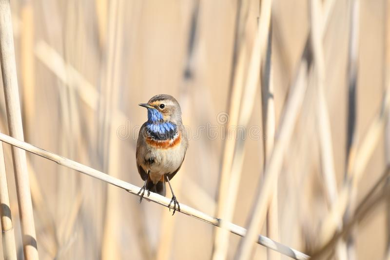 Bluethroat Luscinia svecica. The Bluethroat Luscinia svecica is a small passerine bird that was formerly classed as a member of the thrush family Turdidae, but royalty free stock photo