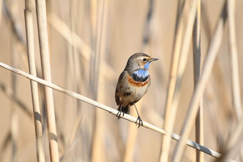 Bluethroat Luscinia svecica. The Bluethroat Luscinia svecica is a small passerine bird that was formerly classed as a member of the thrush family Turdidae, but royalty free stock photos