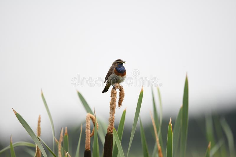 Bluethroat on a sigar in June royalty free stock photography