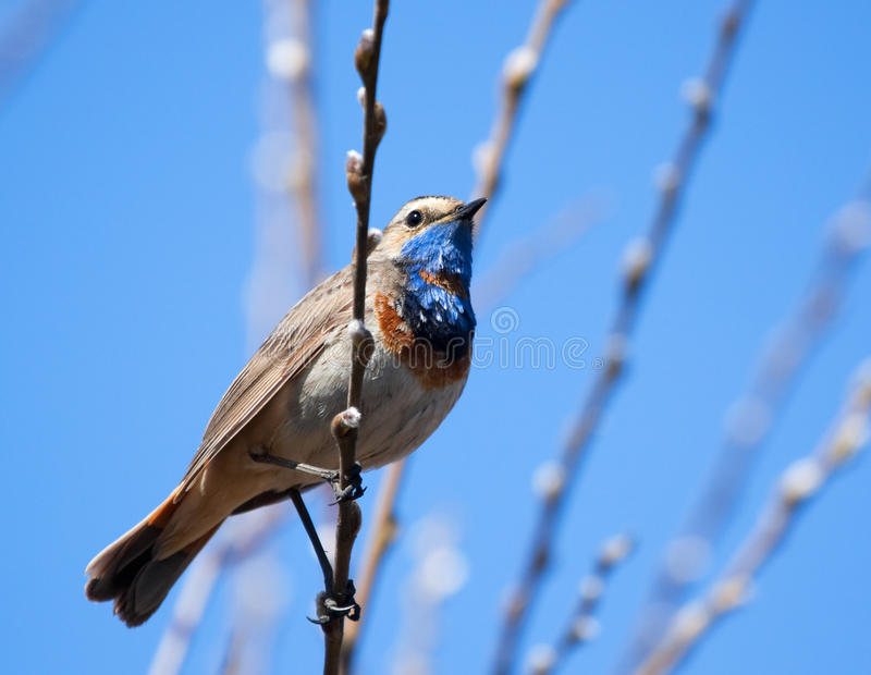 Download Bluethroat On The Spring Branch Stock Photo - Image: 22693998