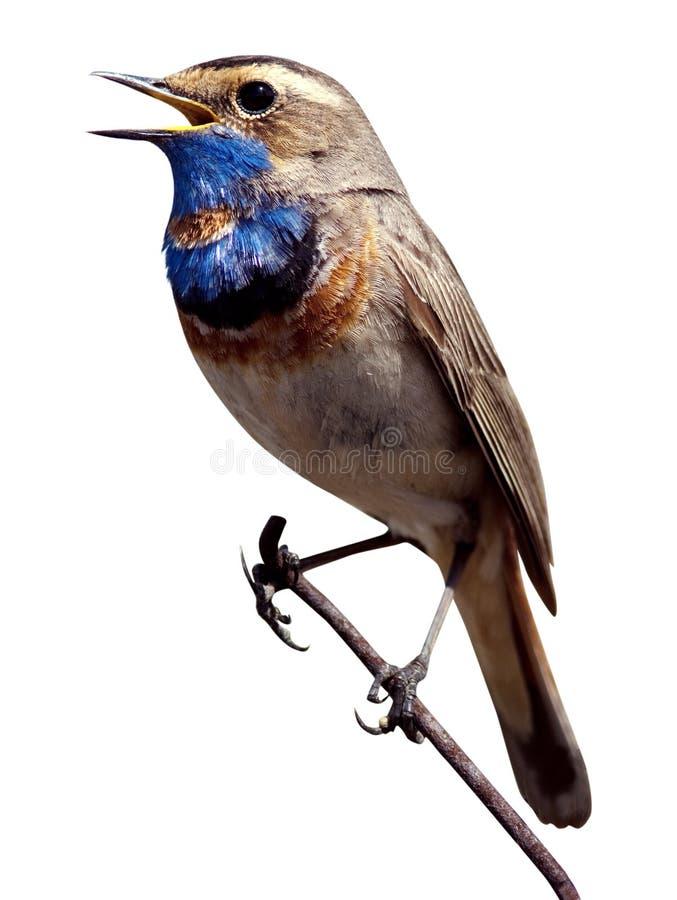 Bluethroat (svecica di Luscinia). immagini stock libere da diritti