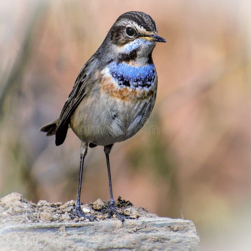 Bluethroatfågeln royaltyfri foto