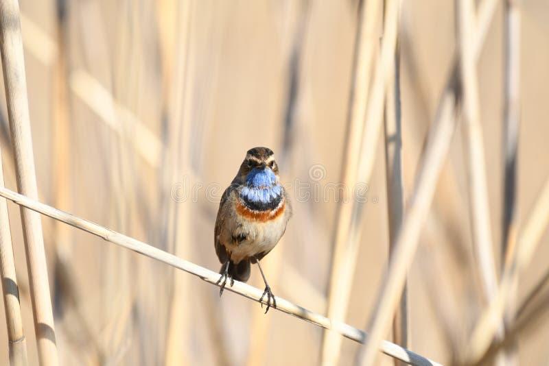 BluethroatLusciniasvecica arkivfoton