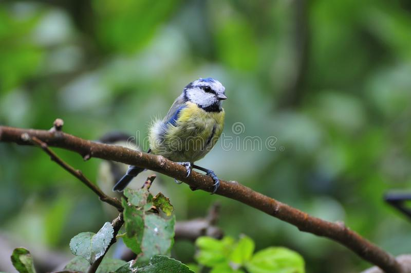 Bluetit. fotografie stock