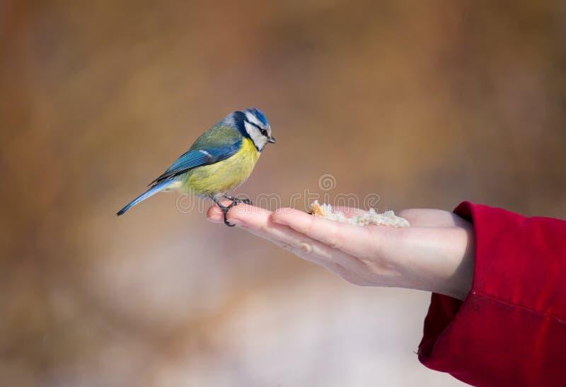 The Bluetit On A Palm Stock Photo