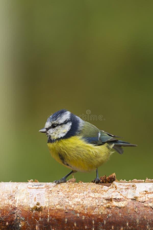 Download Bluetit (Paruscaeruleus) arkivfoto. Bild av befjädrat - 27281196