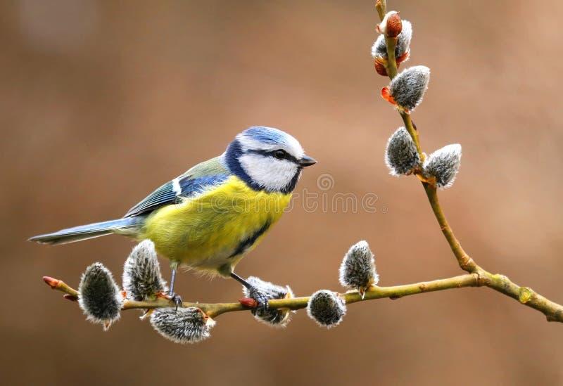 Bluetit on willow branch. Adorable bluetit Cyanistes caeruleus on branch stock images