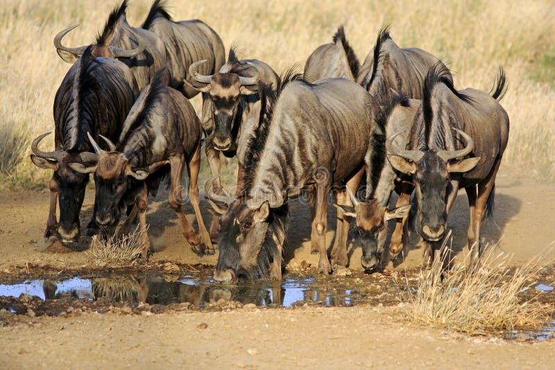 渴bluewildebeest 库存图片