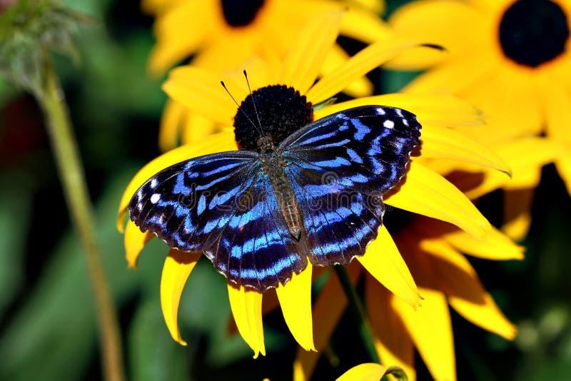 Bluewing mexicain image libre de droits