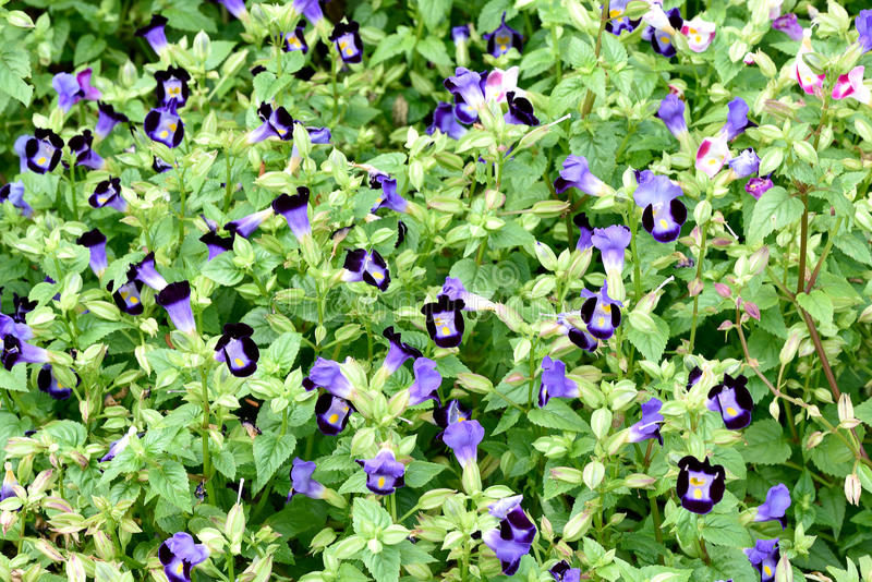 Bluewings. The garden plants that have purple flowers with yellow markings royalty free stock photo