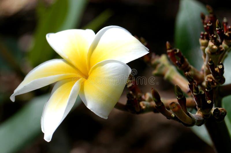 Download Blume stockbild. Bild von leben, makro, betrieb, blume, polinesien - 29191