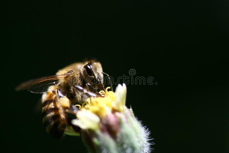 Blume API Mellifera Polinizing stockfoto