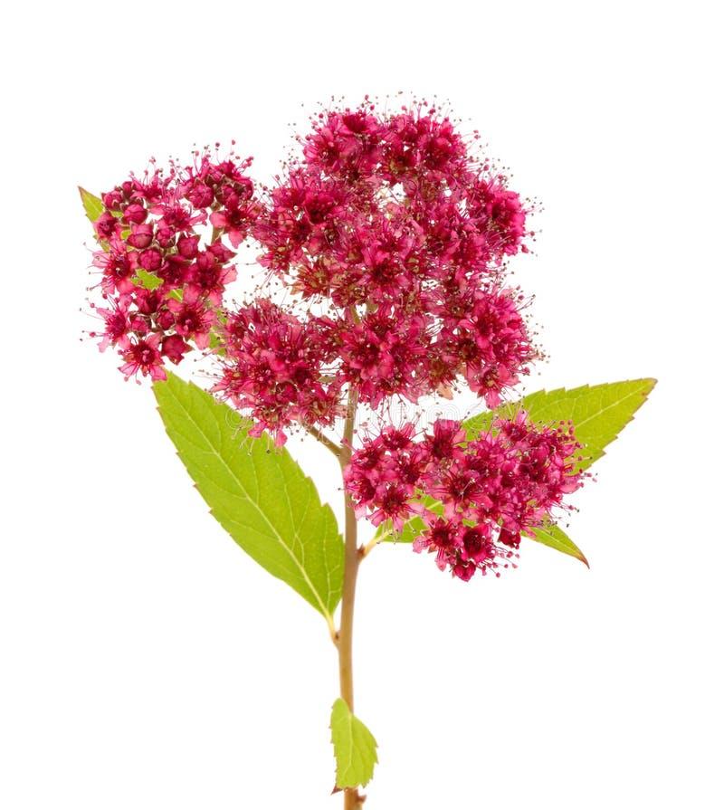 Blume auf weißem Hintergrund lizenzfreies stockfoto