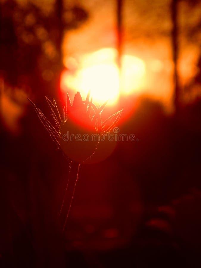 Blume bei dem Sonnenuntergang lizenzfreies stockfoto