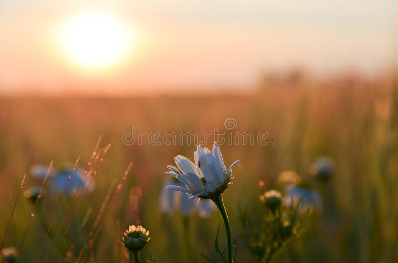 Blume bei Sonnenaufgang lizenzfreie stockfotos