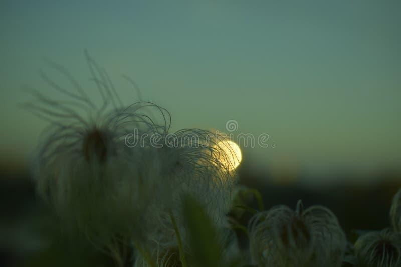 Blume bei Sonnenuntergang stockbild