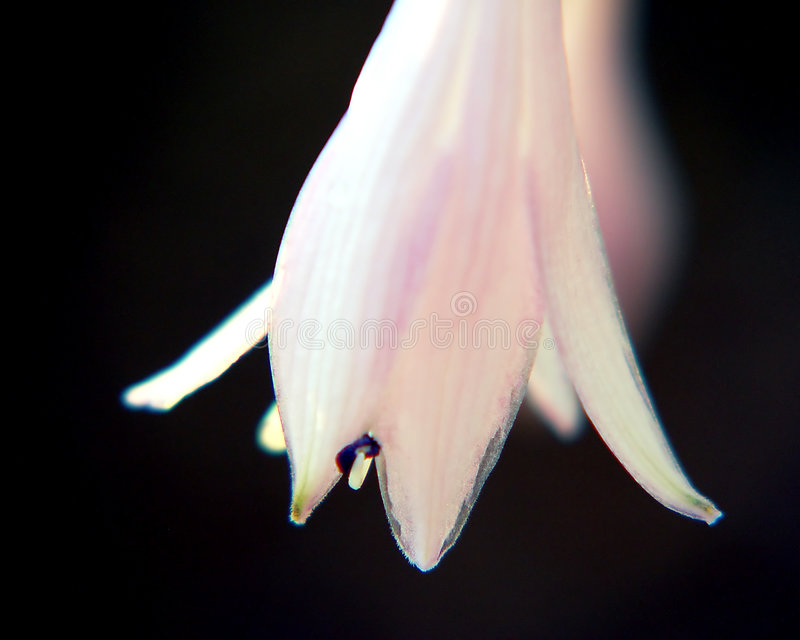 Download Blume Bell stockbild. Bild von weiß, staubgefäß, glocke - 47313