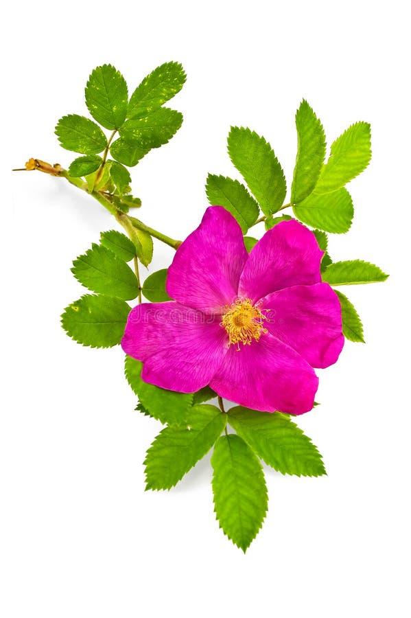 Blume Briar stockfoto