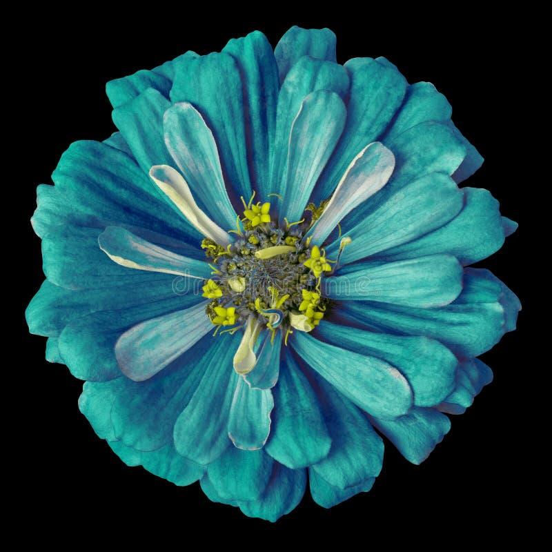 Blume cerulean cyan-blauer gelber Zinnia lokalisiert auf einem schwarzen Hintergrund Nahaufnahme lizenzfreies stockbild