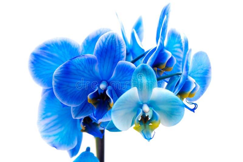 Blume der blauen Orchidee lizenzfreies stockfoto
