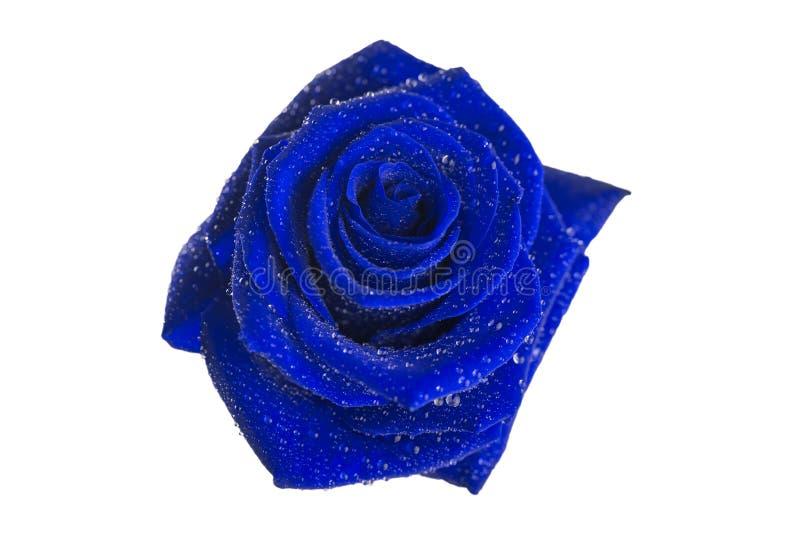 Blume der Blaurose auf weißem Hintergrund lizenzfreies stockfoto