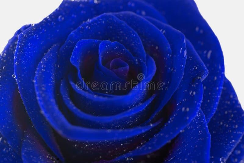 Blume der Blaurose auf weißem Hintergrund stockfotografie