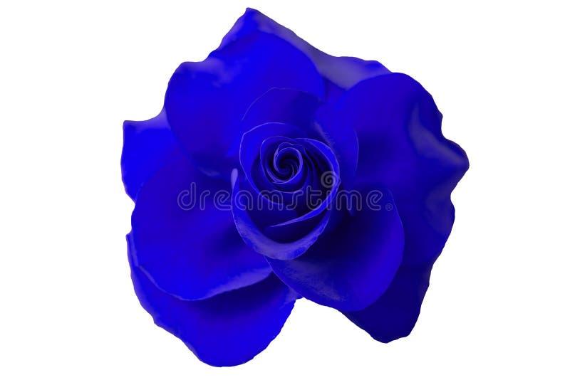 Blume der Blaurose auf weißem Hintergrund stockbilder