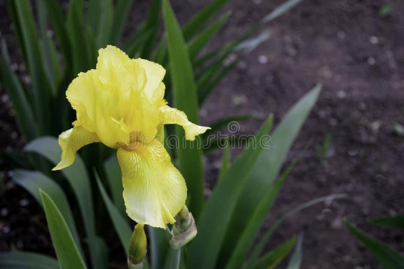Blume der gelben Iris, die im Frühjahr in einem Kopienraum des Gartens blüht stockbild