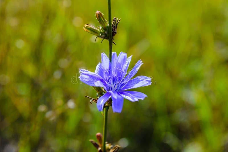 Blume der gemeinen Zichorieanlage lizenzfreies stockfoto