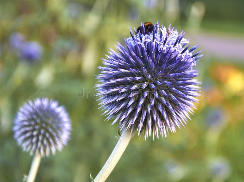 Blume der Kugeldistel (Echinops ritro) stockbilder