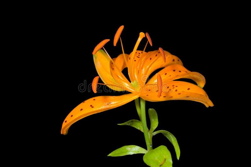 Blume der Lilie (Lilium distichum) 2 lizenzfreies stockfoto