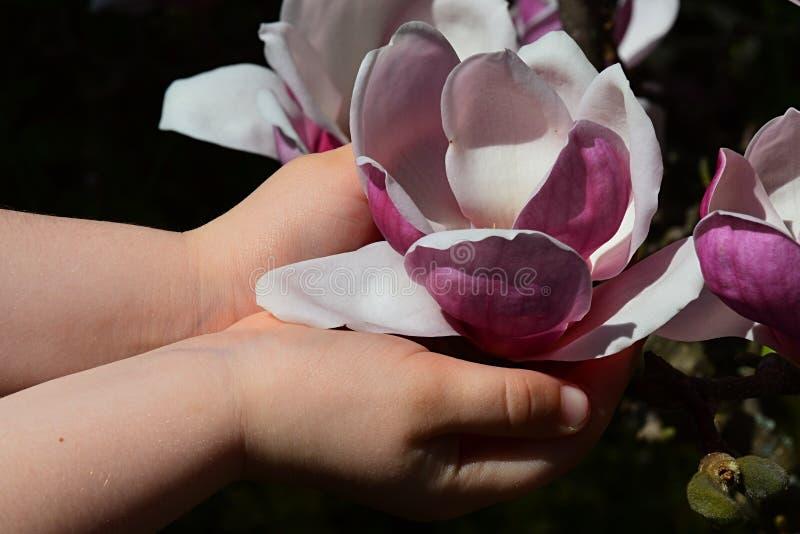 Blume der Magnolie Soulangeana hielt in den Händen des kleinen Mädchens wie einem Messkelch, dunkler Hintergrund lizenzfreie stockfotos