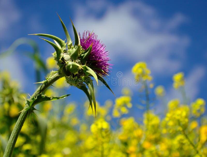 Blume der Mariendistel stockbild