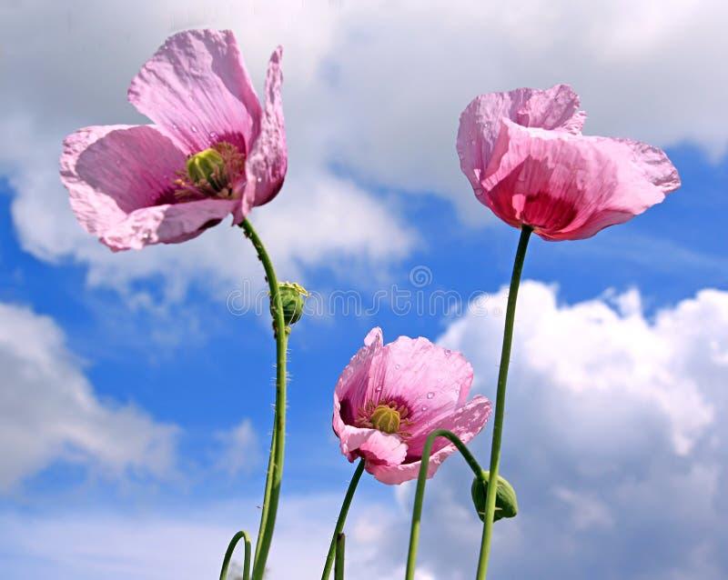 Blume der Mohnblume stockbild