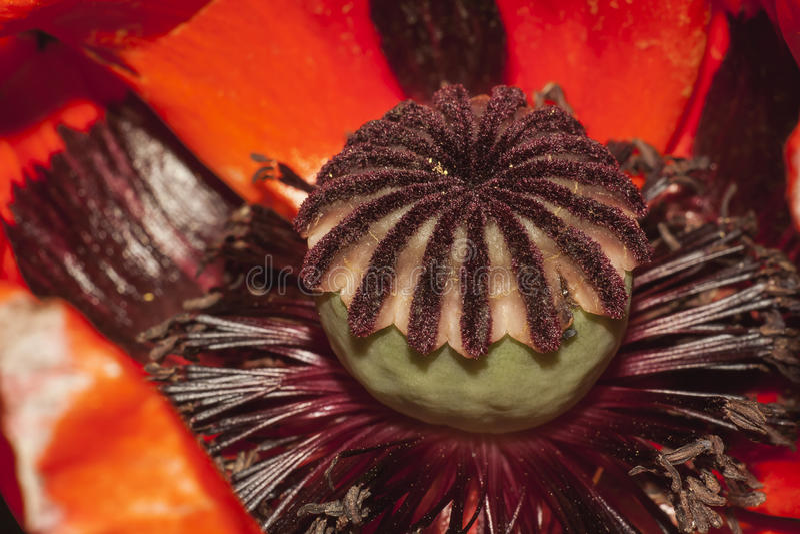 Blume der Mohnblume stockfotos
