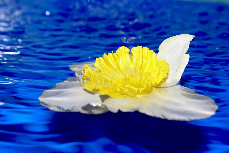 Blume der Narzisse. stockbild