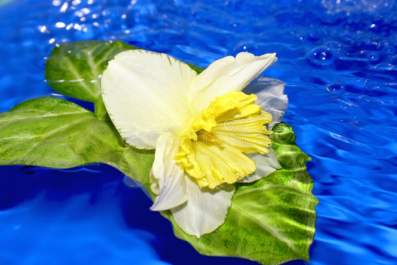 Blume der Narzisse. stockfotografie