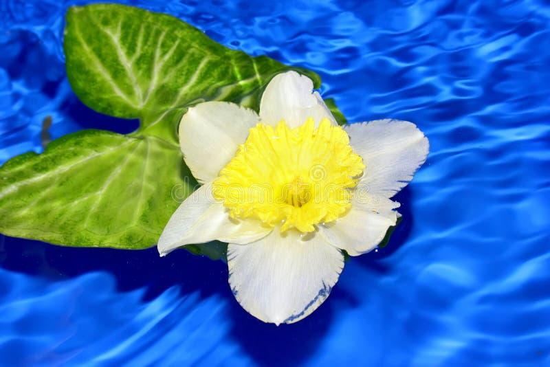 Blume der Narzisse. lizenzfreies stockbild